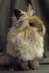 Lionhead Rabbit...  he's sooo FLUFFY!! Lionhead Rabbit, Adorable Animals, Stupid, Bunnies, Pets, Cotton, Beautiful, Rabbit, Bunny