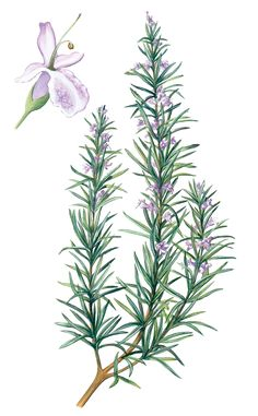 Make: Rosemary water | The Simple Things