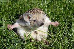 Aww so cute things i love pinterest hedgehogs animal and i swear it was this big amazinganimalsfunnyscreensaverscrazyanimal voltagebd Gallery
