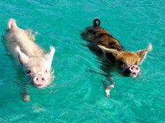 swimming pigs at Pig Beach in the Bahamas! Soooo cute