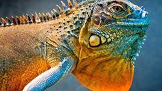 Beautifully colored lizard    Dragon-lizard-a-chameleon_1920x1080.jpg (1920×1080)