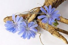 Chicory Edible flowers leaves and roots