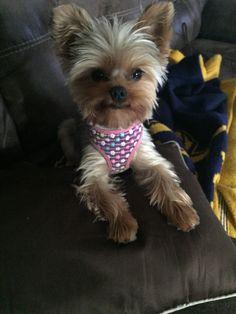 Kimberly's Dakota ⋆ It's a Yorkie Life Yorkie Dogs, Yorkies, Puppies, Cute Dog Photos, Yorkshire Terrier, Dog Grooming, Cute Baby Animals, Say Hello, Puppy Love