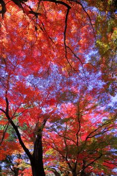 ~~Japanese Fall(Chusonji) ~ autumn red trees under blue sky by yume .~~ Japan appears to be one of the most beautiful countries ever---maybe the prettiest. Mother Earth, Mother Nature, Beautiful World, Beautiful Places, Image Nature, Autumn Leaves, Fall Trees, Autumn Flowers, Autumn Harvest