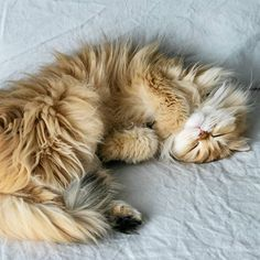 10 Cute photos of Golden Retrievers - The cats I Love Cats, Cute Cats, Funny Cats, Animals And Pets, Baby Animals, Cute Animals, Animals Images, Pretty Cats, Beautiful Cats