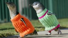 OMG penguin sweaters. when there are oil spills, rescue workers put these sweaters on oil-soaked penguins to keep them warm and prevent them from nibbling on their oily bodies while they wait to be cleaned. ADORABLE.