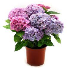 Color Lila, Flower Pots, Flowers, Herb Garden, Hydrangea, Garden Design, Herbs, Organic, Vegetables