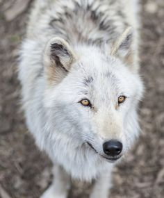 Alawa, The Wolf by roni chastain on Wolf Spirit, My Spirit Animal, My Animal, Beautiful Creatures, Animals Beautiful, Tier Wolf, Wolf Husky, Wolf Pup, Wolf Love