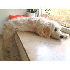 Goldendoodle ... Yoshi:)