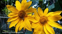 Lot of 5//10 Yellow Mexican Sunflower Tithonia Diversifolia 7 INCH Cuttings