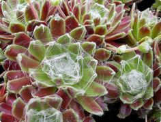 Sempervivum, known commonly as \'Hens & Chicks\' are hardy, rosette-forming succulents of alpine origin. These attractive care-free succulents look fantastic in containers or in cactus and succulent combinations. Plants, Sempervivum, Perennials, Evergreen, Cacti And Succulents