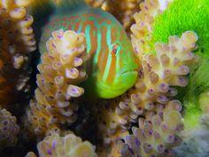 Los corales llaman a peces 'guardaespalda' cuando son atacados por algas tóxicas - Corals Attacked by Toxic Seaweed Use Chemical 911 to Summon Help