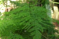 Asparagus Fern - Asparagus setaceus    An extremely graceful plant with fine feathery foliage which arches from the top of slender, erect stems. It combines superbly with other foliage plants and is undemanding.    Temperatures:    Growing season18 °C(64 °F)    Minimum winter8-10 °C (46-50 °F)    Soil: A