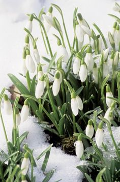 Snowdrops: There are over 240 varieties at the National Trust's Anglesey Abbey (Lode Cambridgeshire). You can learn all about them on a guided walk.