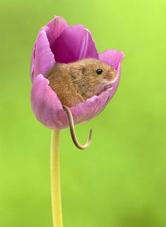 Photographer Tiptoes Through The Tulips To Shoot Harvest Mice, And The Result Will Make Your Day. These super cute photos were taken by Miles Herbert, a British photographer who runs Captivelight, ho Animals Images, Nature Animals, Animals And Pets, Animal Pictures, Felt Animals, Baby Pictures, Hamsters, Rodents, Beautiful Creatures