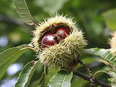 Sweet Chestnut – Castanea sativa – London Tree Surgeons: Tree surgery Tree cutting Tree care and Garden Services