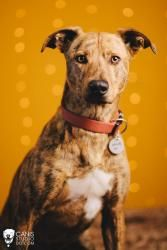Oliver is an adoptable Greyhound Dog in Portland, OR.   Ello gov'ner! Oliver B. Longlegs here, at your service! Me being a Greyhound mix, I like to come about things the fast way, if you know what I m...