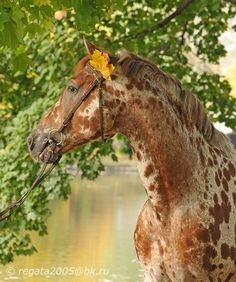 Knabstrup - is a electric cousin of the bunch from the same Spanish bloodlinesas as the the Appaloosa, what a gorgeous horse they are
