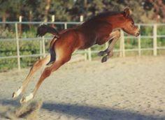 horsesornothing:    Future jumping star?