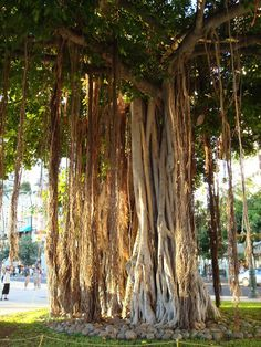 Oahu, and other island have Banyan Trees.  These trees are interesting because the limbs of the tree grow down into the ground which looks like long roots.