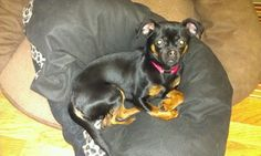 "What a cutie this little girl is!  Isis is a 10 month old(as of posting 2-25-14) Chihuahua Pug blend, A/K/A Chugg! She is a petite girl who has come to us with her ""brother"" Rocky, who is also up for adoption, after they were abandoned at Animal..."