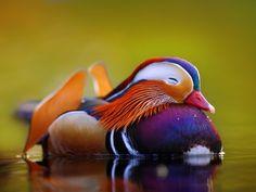 English: The Mandarin Duck is native to East Asia . The male Mandarin Duck is colorful, while the female is more discreet. Canard Mandarin, Mandarin Duck, Colorful Animals, Colorful Birds, Cute Animals, Exotic Animals, Wild Animals, Baby Animals, Cutest Animals On Earth