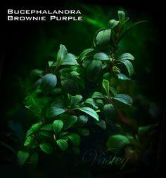 Bucephalandra Brownie Purple | Tomasz Wastowski | Flickr Freshwater Aquarium Plants, Planted Aquarium, Aquascaping Plants, Aquatic Plants, Plantar, Animals And Pets, Fresh Water, Plant Leaves, Fish Tanks