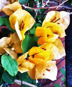Yellow Bougainvillea - need to plant one of these before summer :)