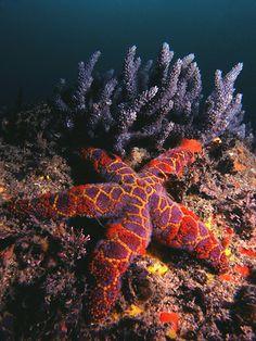 Mosaic star fish