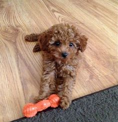 Georgie from Scarlet's Fancy Poodles. Red and Apricot poodles. Toy Poodl Georgie from Scarlet's Fancy Poodles. Red and Apricot poodles. Toy Poodle Puppies, Cute Puppies, Cute Dogs, Toy Poodle Red, Red Poodles, Mini Poodles, Standard Poodles, Animals And Pets, Baby Animals