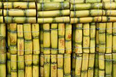 Agriculture Corner – Sugarcane an efficient source of biofuel Bonsai Seeds, Bonsai Plants, Succulent Ground Cover, Sugarcane Juice, Buy Seeds, Fruit Seeds, Juicing For Health, Bulb Flowers, Planting Seeds