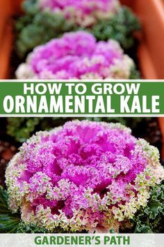 Vivid flowering kale is an excellent choice to liven up cool weather gardens. Cottage Garden Design, Cottage Garden Plants, Cottage Gardens, Organic Gardening, Gardening Tips, Vegetable Gardening, Veggie Gardens, Gardening Services, Landscaping Tips