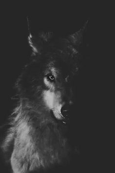 Wolf in the Shadows.