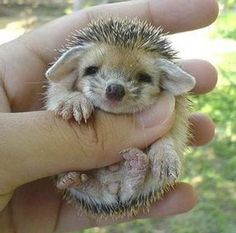 Why is it that hedgehogs always look so happy? I mean, I have never seen a hedgehog or a picture of one where they look unhappy, scary, mean, or frustrated.