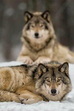 lobos bellos
