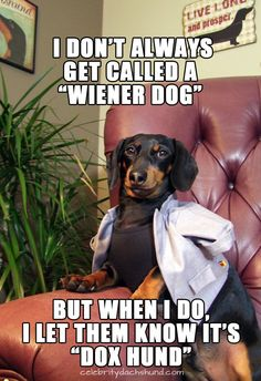 """""""Hes the Most Interesting Dog in the World"""" Petties Award Winner Crusoe Celebrity Dachshund Dachshund Funny, Dachshund Breed, Dapple Dachshund, Long Haired Dachshund, Dachshund Love, Daschund, Dachshund Quotes, Funny Dogs, Big Dogs"""