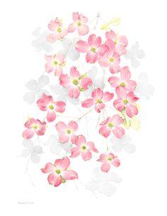 Limited edition Cornus florida (Pink Dogwood) print