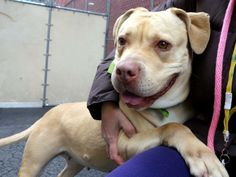 TO BE DESTROYED 1/19/14 - Manhattan Center    NITA - A0989350   SPAYED FEMALE, YELLOW, LABRADOR RETR / PIT BULL, 2 yrs  STRAY - STRAY WAIT, NO HOLD Reason STRAY   Intake condition NONE Intake Date 01/11/2014, From NY 10454, DueOut Date 01/14/2014 Main thread: https://www.facebook.com/photo.php?fbid=740761232603425&set=a.617938651552351.1073741868.152876678058553&type=3&permPage=1