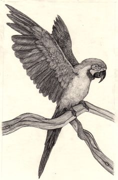 Parrot Drawings - Bing images