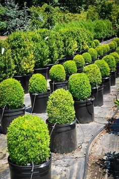 Dwarf English Boxwood grows to 2 3 tall Great for edging Looks