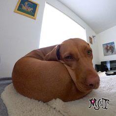 💕 Do I remind you of anything??? 🍩  #doglovers #vizslapuppy #vizslaoftheday #dogdoughnut #dognose Unique Dog Collars, Dog Nose, Vizsla Puppies, Dog Lovers, Dogs, Animals, Animales, Animaux, Pet Dogs