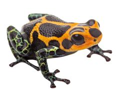 Amazon Coloured Frog Amazon Fire Phone, Design Blogs, Lizards, Frogs, Turtles, Smartphone, Apps, Technology, Tortoises
