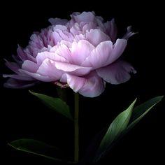 Close up of peony flower  : Photo