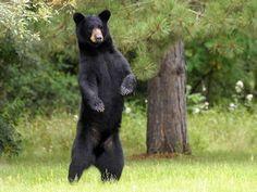 I got: Black Bear! What Is Your Spirit Animal?
