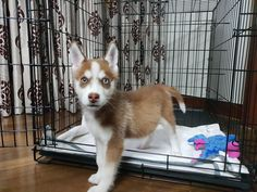 Siberian Husky Dogs I finally have foundy running buddy. Welcome home Fiddich! Puppy Care, Pet Puppy, Husky Dog, Running Buddies, Alaskan Husky, Happy Puppy, Dog Travel, Pembroke Welsh Corgi, I Love Dogs