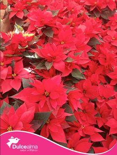 """#SabíasQue la flor de nochebuena es una especie autóctona de México, Los antiguos mexicas la llamaban, en náhuatl, Cuetlaxóchitl que significa """"Flor que se marchita"""".  #DulceDato"""