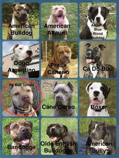 Identify the Pitbull, pick the American Pit Bull Terrier – Dog Breed Quiz – Animal Planet Amstaff Terrier, Amstaff Puppy, Terrier Dog Breeds, Bull Terrier Dog, Bull Mastiff Dogs, English Mastiff Puppies, English Bull Terriers, Big Dogs, Cute Dogs