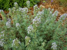 Sproutsandstuff: What's blooming in June-Thymus 'Highland Cream'  http://sproutsandstuff.blogspot.co.uk/p/blog-page_2240.html
