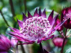 Sterndolde (Astrantia) - Gartenzauber
