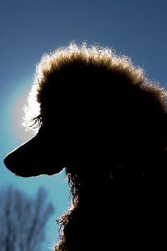 backlit poodle profile